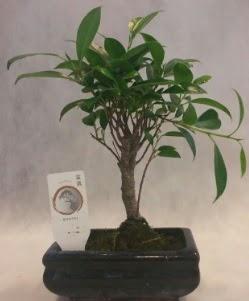 Bonsai japon ağacı bitkisi satışı  Giresun uluslararası çiçek gönderme