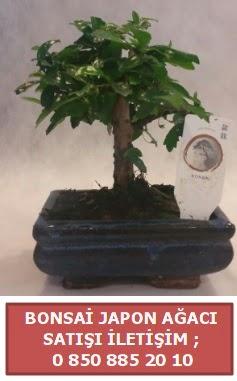 Japon ağacı minyaür bonsai satışı  Giresun çiçek online çiçek siparişi