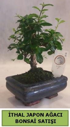 İthal japon ağacı bonsai bitkisi satışı  Giresun hediye sevgilime hediye çiçek