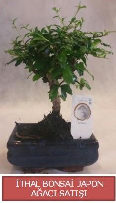 İthal küçük boy minyatür bonsai ağaç bitkisi  Giresun hediye sevgilime hediye çiçek