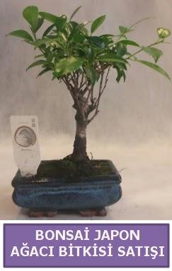 İthal Bonsai japon ağacı bitkisi satışı  Giresun cicekciler , cicek siparisi