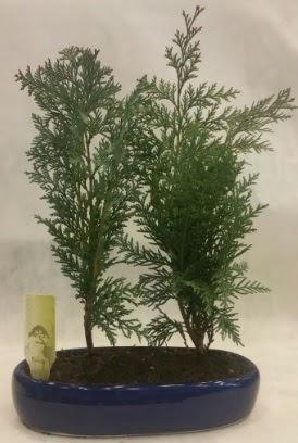 SINIRLI SAYIDA Selvi Ağacı bonsai ikili  Giresun hediye sevgilime hediye çiçek