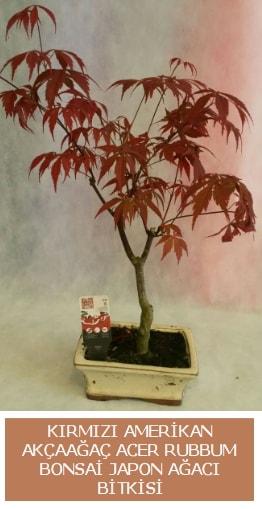 Amerikan akçaağaç Acer Rubrum bonsai  Giresun çiçek satışı