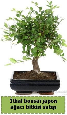 İthal bonsai saksı çiçeği Japon ağacı satışı  Giresun cicekciler , cicek siparisi
