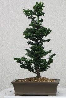 Çam ağacı bonsai bitkisi satışı  Giresun hediye sevgilime hediye çiçek
