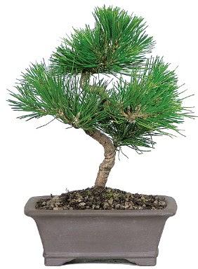 Çam ağacı bonsai japon ağacı bitkisi  Giresun anneler günü çiçek yolla