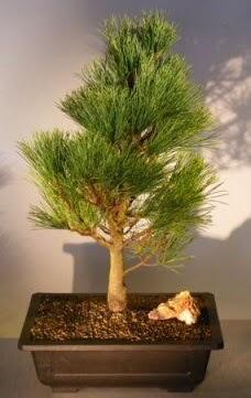 Çam ağacı japon ağacı bitkisi bonsai  Giresun hediye sevgilime hediye çiçek