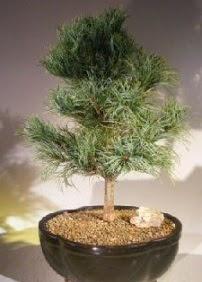Çam ağacı bonsai bitkisi satışı  Giresun çiçek mağazası , çiçekçi adresleri