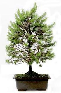 *** STOKTA YOK - Çam ağacı bonsai bitkisi satışı  Giresun çiçekçi telefonları