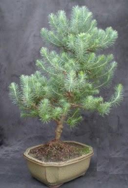 Bonsai çam ağacı japon ağacı bitkisi  Giresun uluslararası çiçek gönderme