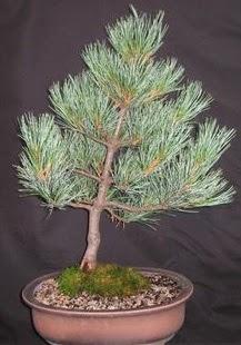 Bonsai çam ağacı japon ağacı bitkisi  Giresun yurtiçi ve yurtdışı çiçek siparişi