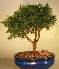 Servi çam bonsai japon ağacı bitkisi  Giresun 14 şubat sevgililer günü çiçek