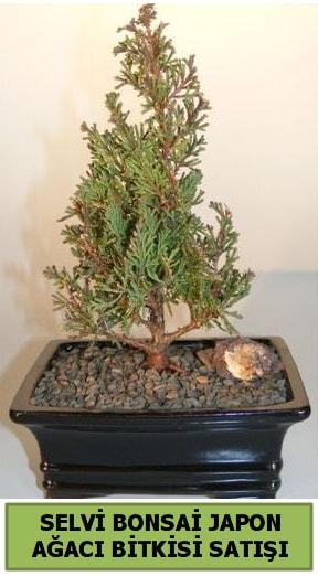 Selvi çam japon ağacı bitkisi bonsai  Giresun hediye sevgilime hediye çiçek