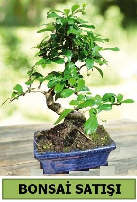 Çam bonsai japon ağacı satışı  Giresun çiçek online çiçek siparişi