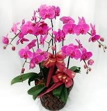 Sepet içerisinde 5 dallı lila orkide  Giresun çiçek mağazası , çiçekçi adresleri