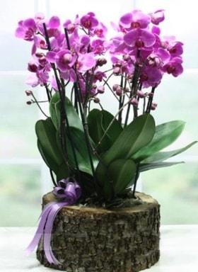 Kütük içerisinde 6 dallı mor orkide  Giresun çiçek mağazası , çiçekçi adresleri
