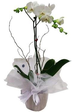 Tek dallı beyaz orkide  Giresun çiçek gönderme