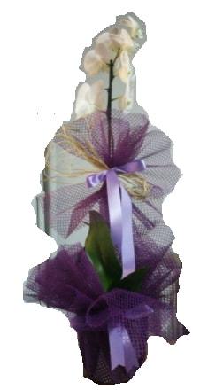 Tek dallı beyaz orkide süper kalite ithal  Giresun yurtiçi ve yurtdışı çiçek siparişi