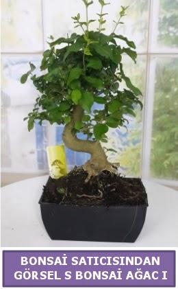 S dal eğriliği bonsai japon ağacı  Giresun çiçek online çiçek siparişi