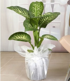 Tropik saksı çiçeği bitkisi  Giresun çiçek online çiçek siparişi