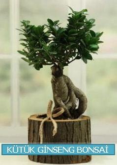 Kütük ağaç içerisinde ginseng bonsai  Giresun uluslararası çiçek gönderme