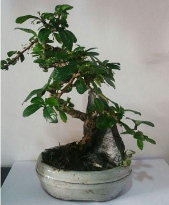 S şeklinde ithal bonsai ağacı  Giresun 14 şubat sevgililer günü çiçek