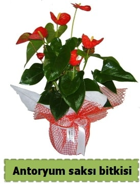 Antoryum saksı bitkisi satışı  Giresun çiçek servisi , çiçekçi adresleri