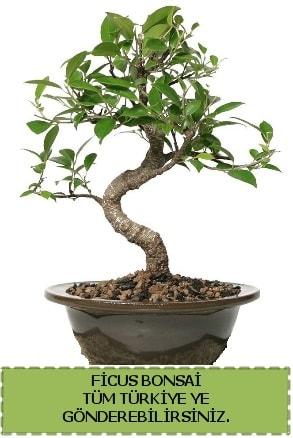 Ficus bonsai  Giresun uluslararası çiçek gönderme