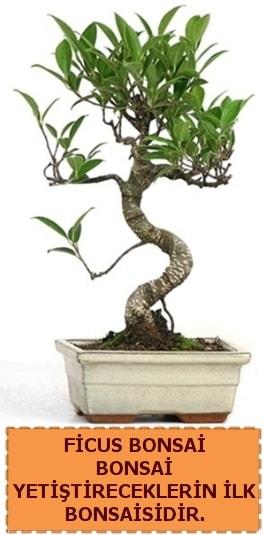 Ficus bonsai 15 ile 25 cm arasındadır  Giresun 14 şubat sevgililer günü çiçek