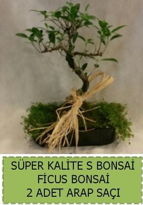 Ficus S Bonsai ve arap saçı  Giresun hediye sevgilime hediye çiçek