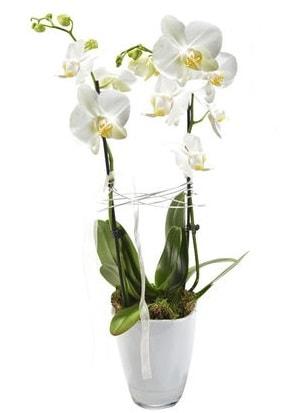 2 dallı beyaz seramik beyaz orkide saksısı  Giresun uluslararası çiçek gönderme