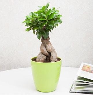 Ficus Ginseng Bonsai  Giresun çiçek , çiçekçi , çiçekçilik