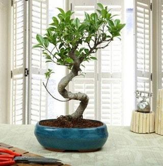 Amazing Bonsai Ficus S İthal  Giresun İnternetten çiçek siparişi