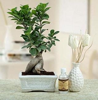 Ginseng ficus bonsai  Giresun çiçek yolla , çiçek gönder , çiçekçi