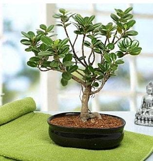 Lovely Ficus Iceland Bonsai  Giresun ucuz çiçek gönder