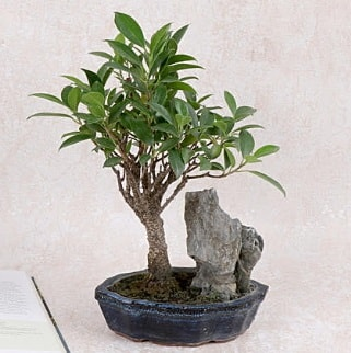 Japon ağacı Evergreen Ficus Bonsai  Giresun uluslararası çiçek gönderme