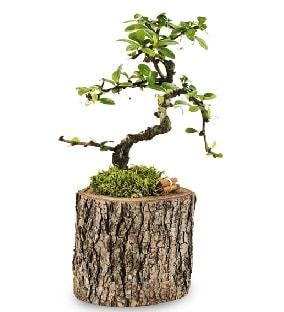 Doğal kütükte S bonsai ağacı  Giresun çiçek online çiçek siparişi