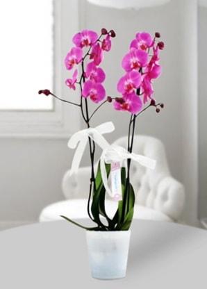 Çift dallı mor orkide  Giresun çiçek yolla , çiçek gönder , çiçekçi