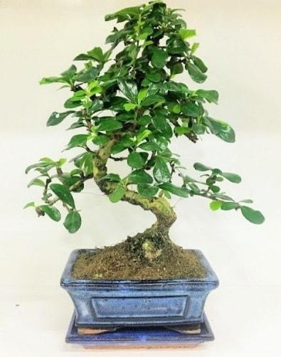 S Bonsai japon ağacı bitkisi  Giresun çiçek satışı