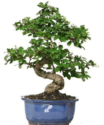 21 ile 25 cm arası özel S bonsai japon ağacı  Giresun hediye sevgilime hediye çiçek
