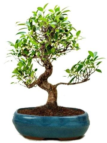 25 cm ile 30 cm aralığında Ficus S bonsai  Giresun uluslararası çiçek gönderme