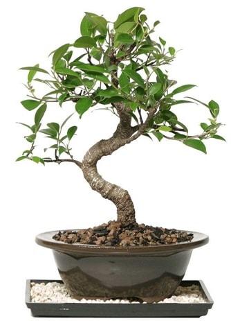 Altın kalite Ficus S bonsai  Giresun hediye sevgilime hediye çiçek  Süper Kalite