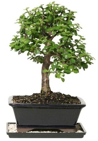 15 cm civarı Zerkova bonsai bitkisi  Giresun yurtiçi ve yurtdışı çiçek siparişi