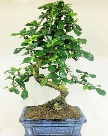 Zelkova S gövdeli Minyatür ağaç Bonzai  Giresun anneler günü çiçek yolla