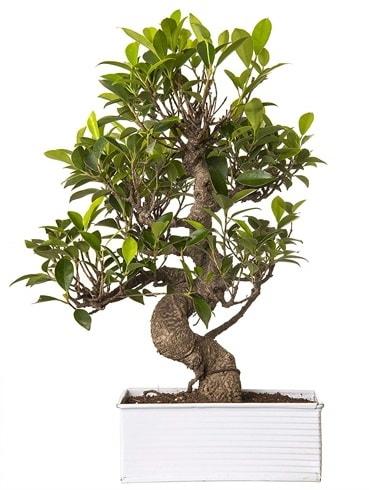 Exotic Green S Gövde 6 Year Ficus Bonsai  Giresun uluslararası çiçek gönderme