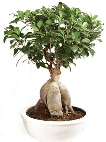 Ginseng bonsai japon ağacı ficus ginseng  Giresun cicekciler , cicek siparisi